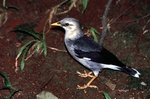 black-winged starling (Acridotheres melanopterus)