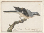 great grey shrike, northern grey shrike (Lanius excubitor)