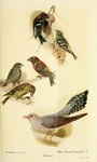 ...red crossbill (Loxia curvirostra), two-barred crossbill (Loxia leucoptera), common cuckoo (Cucul