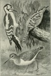 ...great spotted woodpecker (Dendrocopos major), Eurasian wryneck (Jynx torquilla), common sandpipe