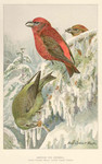 red crossbill, common crossbill (Loxia curvirostra)