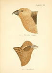 two-barred crossbill (Loxia leucoptera), purple finch (Haemorhous purpureus)