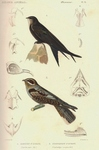 common swift (Apus apus), European nightjar (Caprimulgus europaeus)