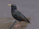 European starling, common starling (Sturnus vulgaris)
