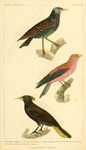 common starling (Sturnus vulgaris), broad-billed roller (Eurystomus glaucurus), crested oropendo...