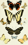 ...gray hairstreak (Strymon melinus), red admiral (Vanessa atalanta), olive hairstreak (Callophrys