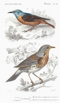 common rock thrush (Monticola saxatilis), fieldfare (Turdus pilaris)