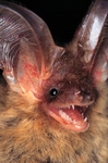 brown long-eared bat, common long-eared bat (Plecotus auritus)