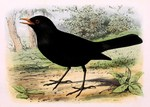 common blackbird, Eurasian blackbird (Turdus merula)