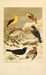 Eurasian golden oriole (Oriolus oriolus), common rock thrush (Monticola saxatilis), song thrush ...