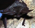 grey long-eared bat (Plecotus austriacus)