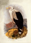 palm-nut vulture, vulturine fish eagle (Gypohierax angolensis)