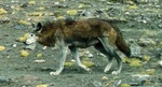 Tibetan wolf, woolly wolf (Canis lupus chanco)