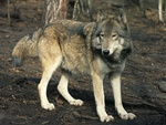 steppe wolf (Canis lupus campestris)