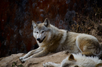 Himalayan wolf (Canis lupus chanco, syn. Canis himalayensis)