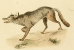 eastern wolf (Canis lupus lycaon, Canis lycaon)