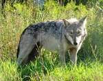 Great Plains wolf (Canis lupus nubilus)
