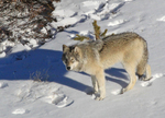 northwestern wolf (Canis lupus occidentalis)
