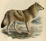 Indian wolf (Canis lupus pallipes)