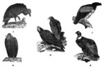 ...black vulture (Coragyps atratus), king vulture (Sarcoramphus papa), turkey vulture (Cathartes au