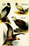 ...Andean condor (Vultur gryphus), Egyptian vulture (Neophron percnopterus), griffon vulture (Gyps
