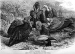 cinereous vulture (Aegypius monachus), Egyptian vulture (Neophron percnopterus), griffon vulture...
