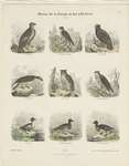 ... chrysaetos), osprey (Pandion haliaetus), Eurasian eagle-owl (Bubo bubo), rough-legged buzzard (...
