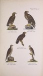 ...golden eagle (Aquila chrysaetos), white-tailed eagle (Haliaeetus albicilla), lesser spotted eagl