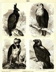 long-crested eagle (Lophaetus occipitalis), African fish eagle (Haliaeetus vocifer), harpy eagle...