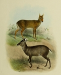 tufted deer (Elaphodus cephalophus)