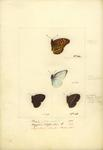 Indian fritillary (Argynnis hyperbius), plain puffin (Appias indra), dingy bushbrown (Mycalesis ...
