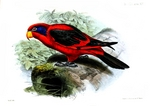 black-winged lory, Biak red lory (Eos cyanogenia)