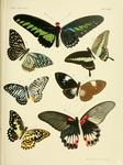...Rajah Brooke's birdwing (Trogonoptera brookiana), common mime (Papilio clytia), banded swallowta