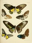 ...ing (Trogonoptera brookiana), golden birdwing (Troides rhadamantus), great blue mime (Papilio pa