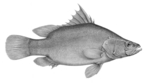 Nile perch (Lates niloticus)