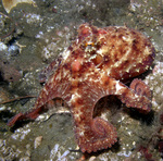 East Pacific red octopus, ruby octopus (Octopus rubescens)