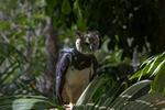 harpy eagle, royal-hawk (Harpia harpyja)