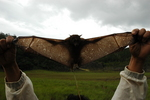 harpy fruit bat (Harpyionycteris whiteheadi)