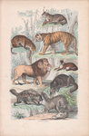 spotted hyena (Crocuta crocuta), striped hyena (Hyaena hyaena), red fox (Vulpes vulpes), grey wo...