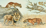 ...Cat Family - Felidae: cougar (Puma concolor), Canada lynx (Lynx canadensis), lion (Panthera leo)