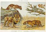 Cat Family - Felidae: cougar (Puma concolor), Canada lynx (Lynx canadensis), lion (Panthera leo)...
