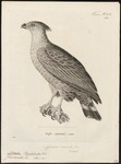 Chaco eagle, crowned solitary eagle (Buteogallus coronatus)