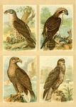 European honey buzzard (Pernis apivorus), white-tailed eagle (Haliaeetus albicilla), osprey (Pan...