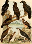 greater spotted eagle (Clanga clanga), lesser spotted eagle (Clanga pomarina), booted eagle (Hie...