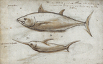 Atlantic bluefin tuna (Thunnus thynnus), swordfish (Xiphias gladius)
