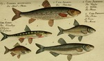 ...eus amarus), common bleak (Alburnus alburnus), common minnow (Phoxinus phoxinus)