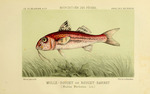 red mullet (Mullus barbatus)
