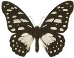 veined swordtail (Graphium leonidas)