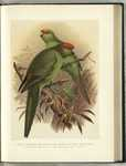 ...yellow-crowned parakeet (Cyanoramphus auriceps), red-fronted parakeet (Cyanoramphus novaezelandi