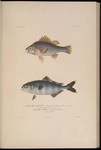 Macquarie perch (Macquaria australasica), pilot fish (Naucrates ductor)